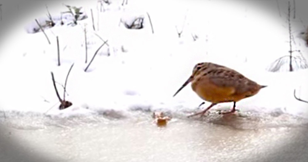 What This Little Bird Did On The Ice Made Me LOL. He Is Too Cute!