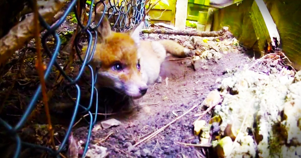 This Fox Pup Was Trapped With No Chance of Freedom. Until This Kind Man Saved Its Life!
