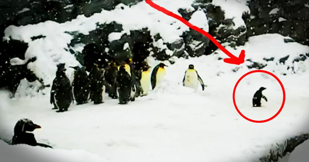 While The Other Penguins Just Chilled, 1 Little Guy Bounced His Way Right Into My Heart. Awww!
