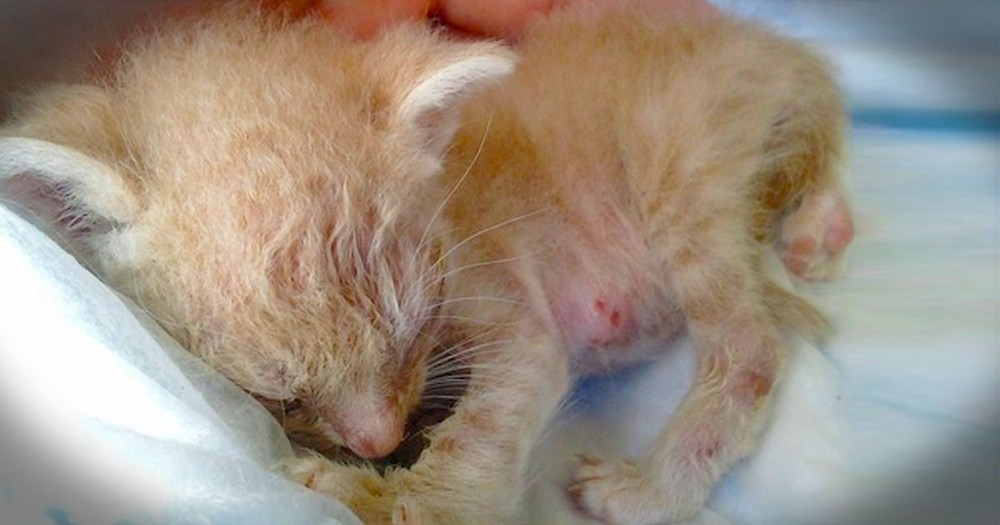 When They Found This Kitten In A Cactus No One Thought He Would Live. This Is A Miracle!