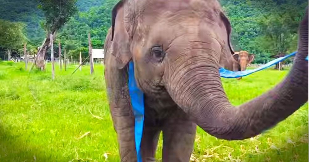This Sweet Elephant Has A New Toy. But It's Her Joy That Really Made My Day! Awwww!