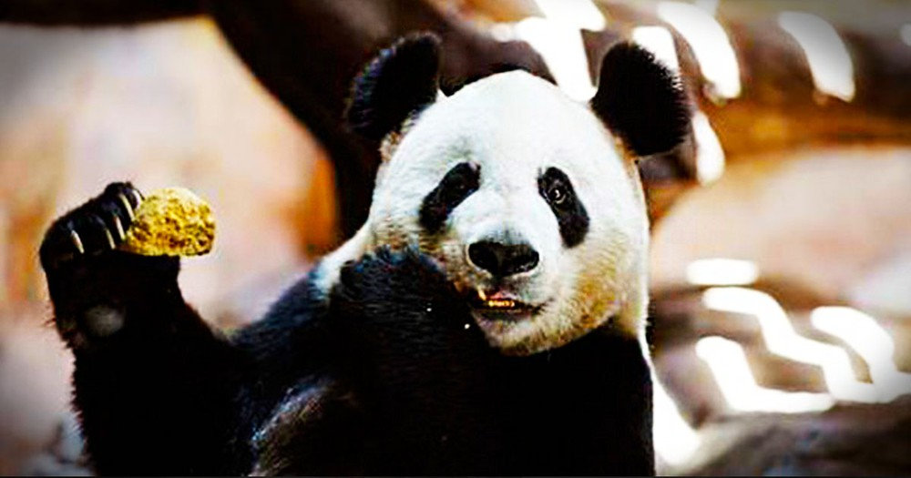 A 'Pregnant' Panda Has a Secret That She's Not Telling Us... But We Found Out & It's Hilarious!