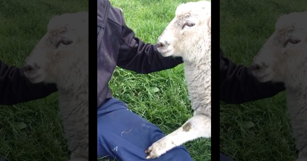 This Lamb Got ALL The Attention. Until This Playful Pup Did Something ADORABLE to Top It--LOL!
