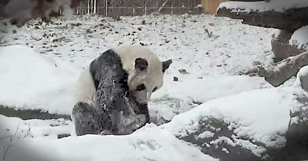 Panda Is REALLY Excited That It Finally Snowed