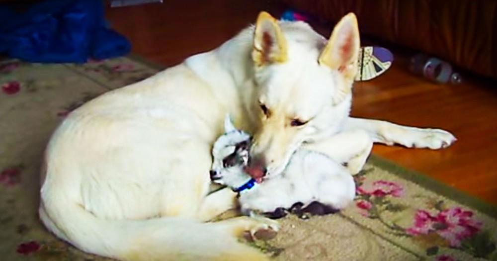 Momma Dog Loves Her New Baby Goat