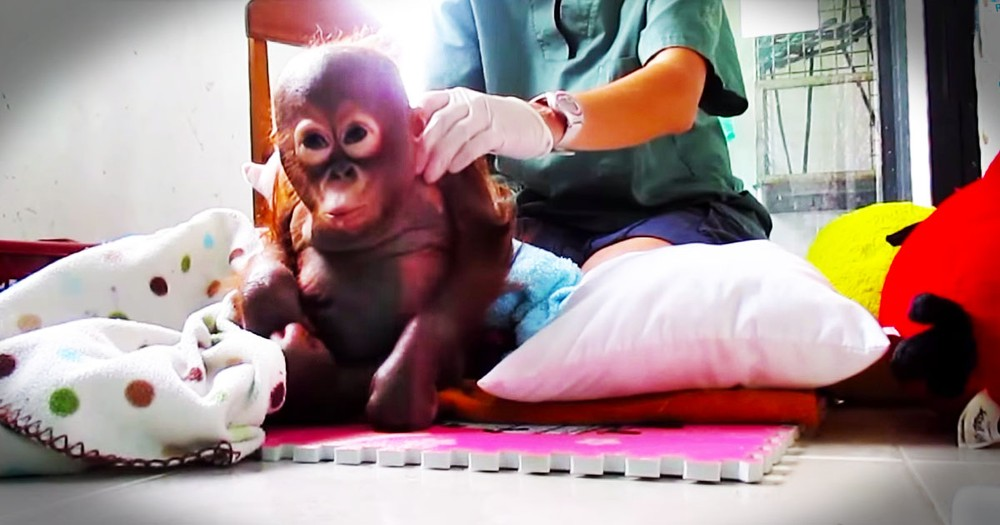 Baby Orangutan Gets Loving Care After Year Of Neglect