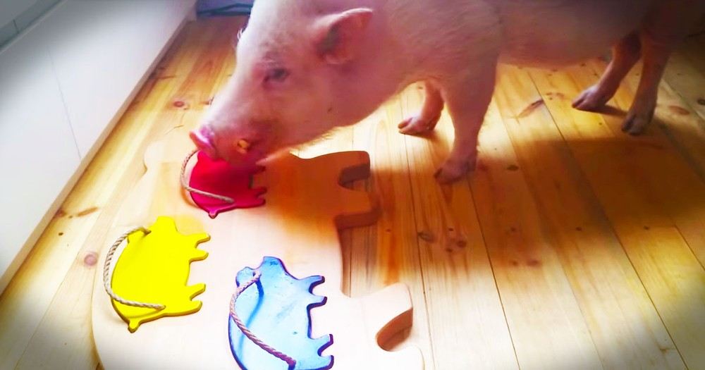 Smart Pig Absolutely Impresses With THIS!
