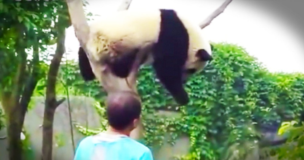 Adorable Panda Insists On A HUG Before Getting Down--Aww!
