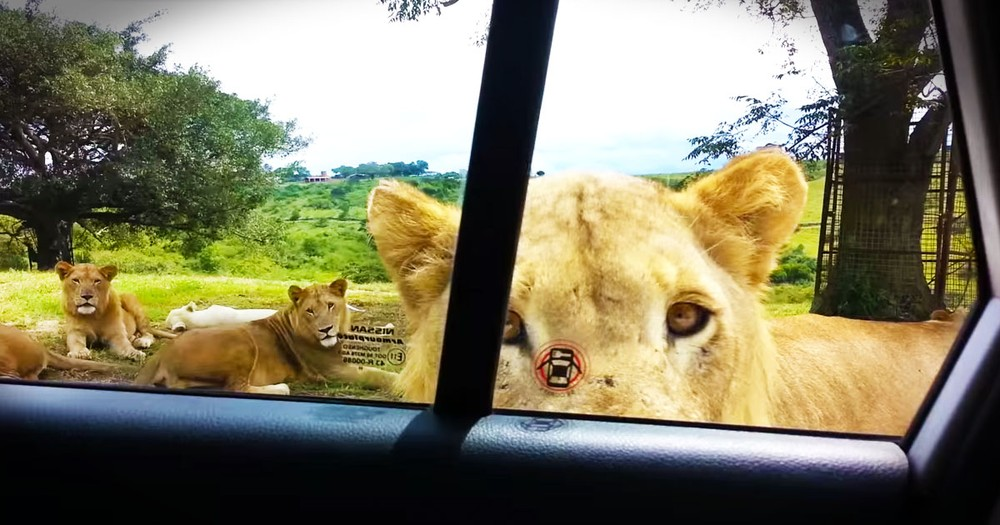 Friendly' Lion Gives A Scary Surprise!