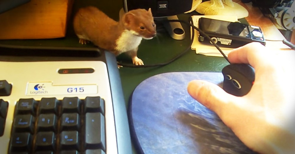 Watching This Rescued Weasel At Play--PRICELESS!