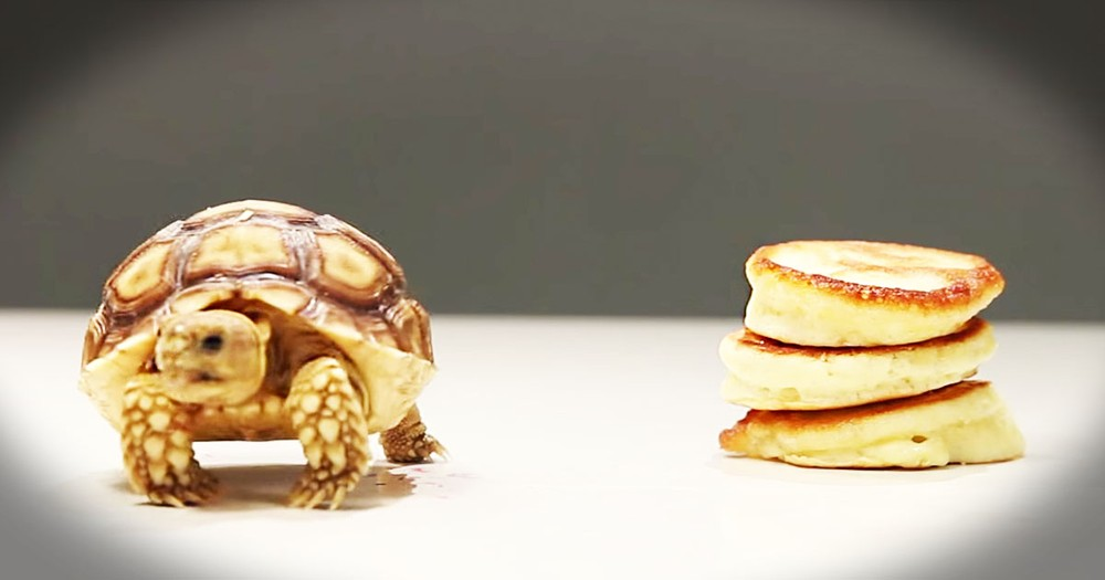 Apparently, These Tortoises Are In For A Tiny Treat--Aww!