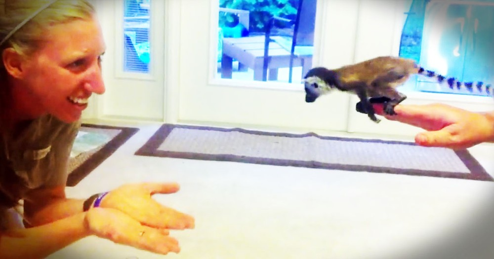Baby Lemur Takes A Leap Of Faith, And It's PRECIOUS!