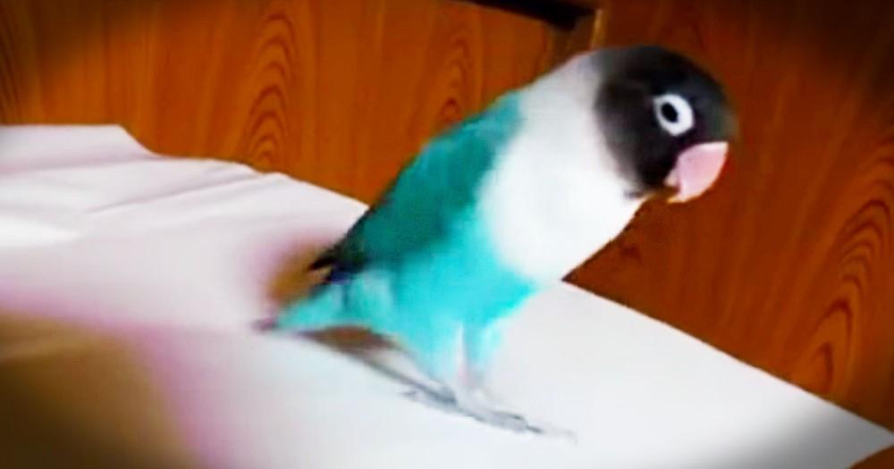 Funny Parrot Dances An Irish Jig--LOL!