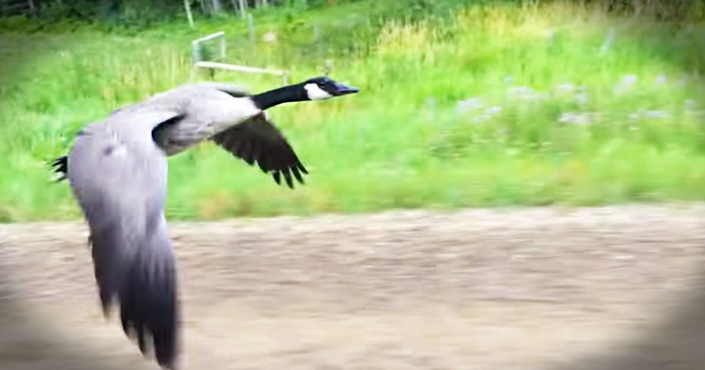 This Goose Rescue Is Too Beautiful To Miss