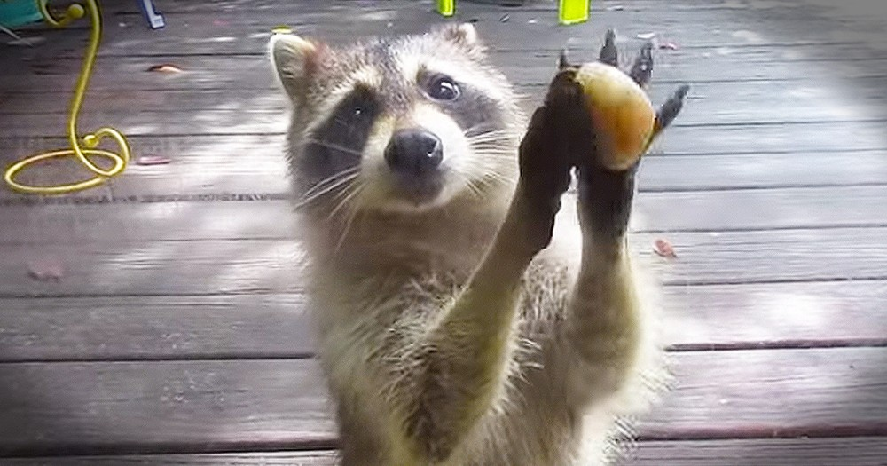 How This Momma Raccoon Asks For Food Is Precious