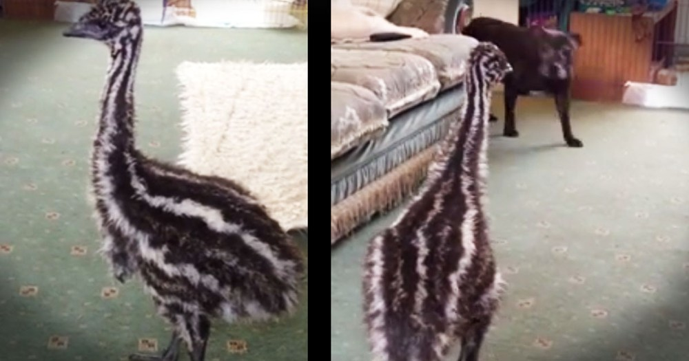 Baby Emu And Dog BFF Are Too Cute