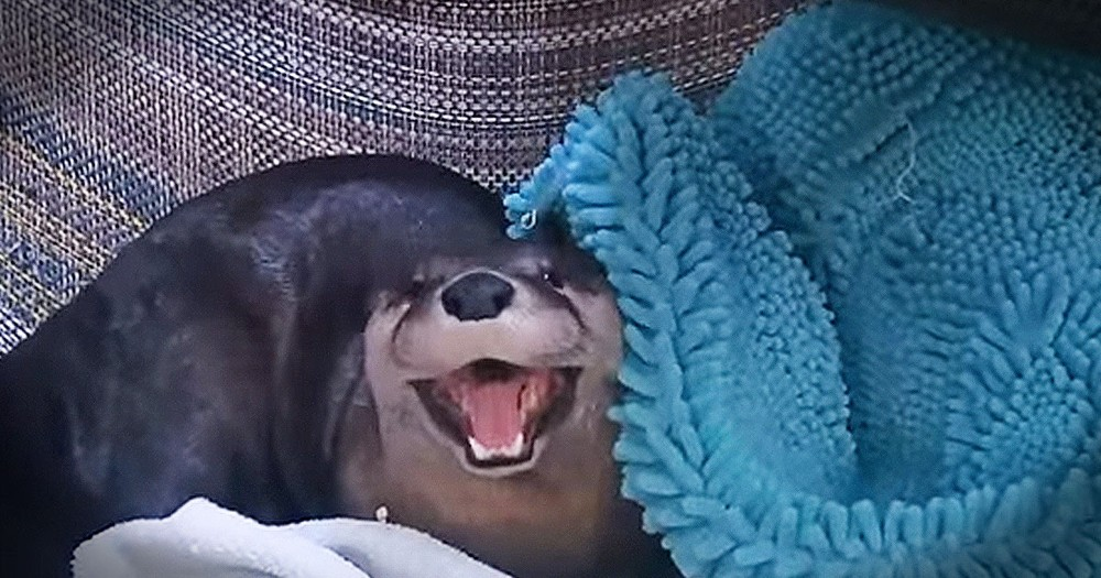 Sleepy Otter Wants A Little More Time In Bed