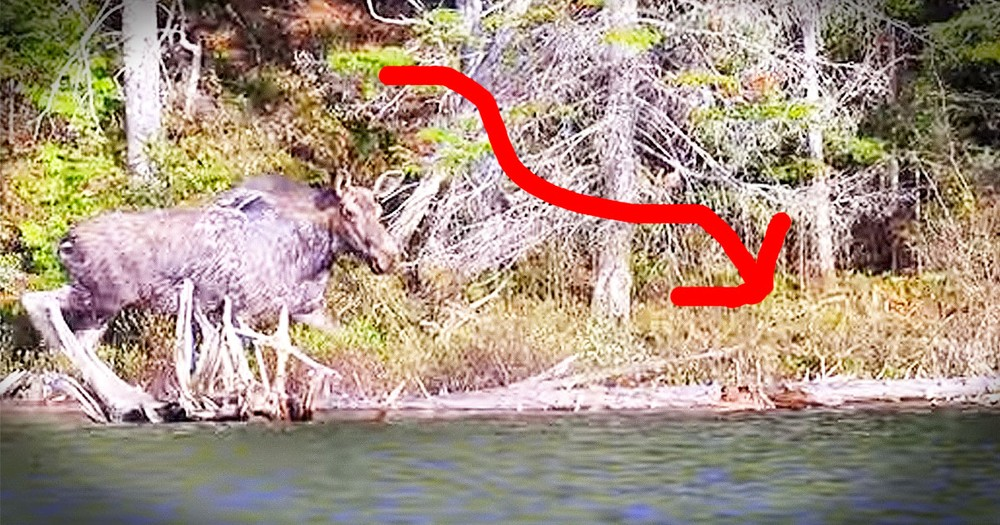 When Her Baby Was Drowning, This Moose Did The INCREDIBLE!