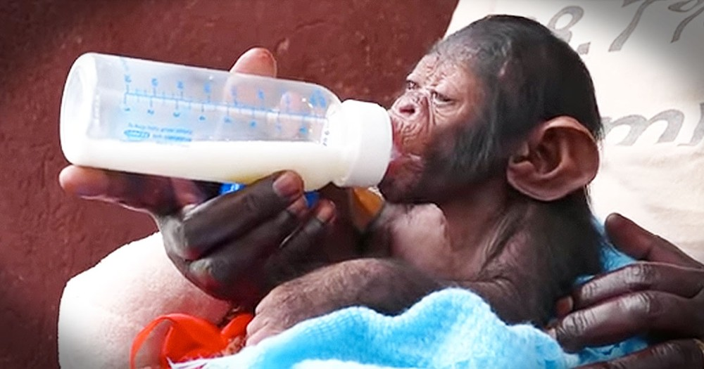 Precious Baby Chimp Is The Best Cuddle Buddy