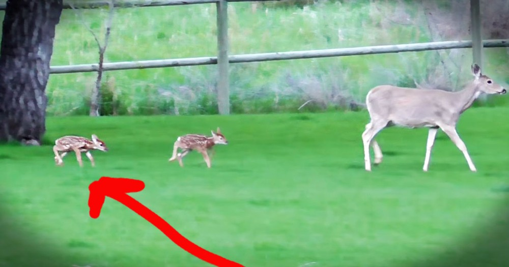 Abandoned Fawn Refuses To Leave Man Who Saved Him!