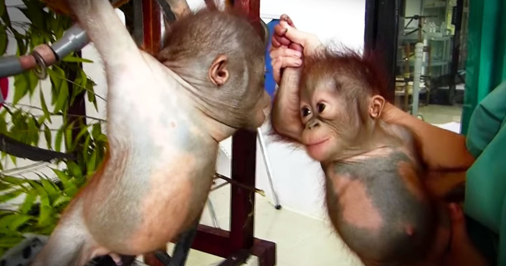 Orphaned Baby Orangutans Meet For The First Time