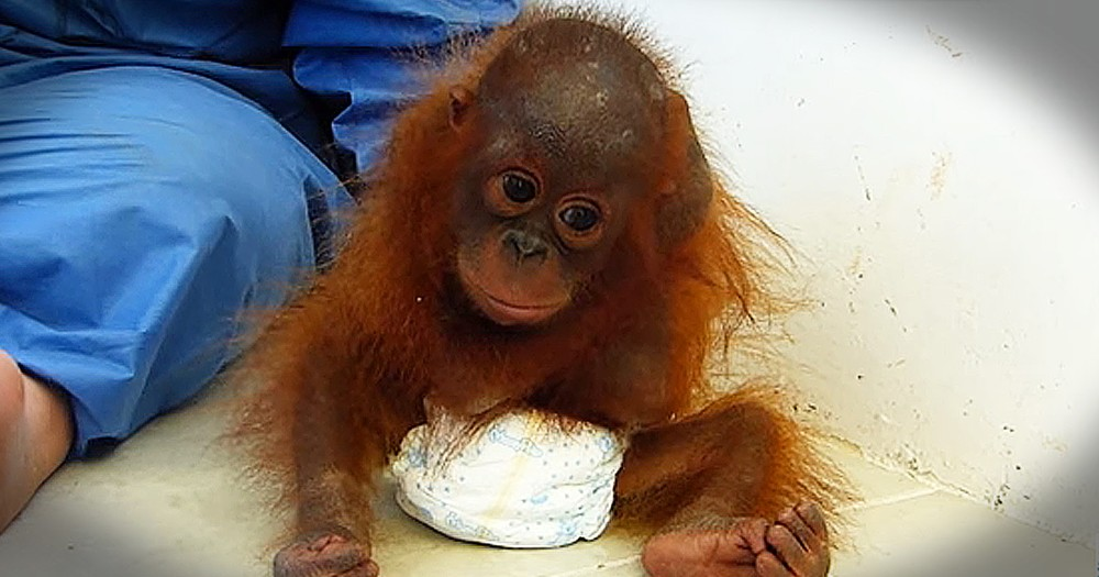Orphaned Orangutan Receives Love After Years Of Trauma