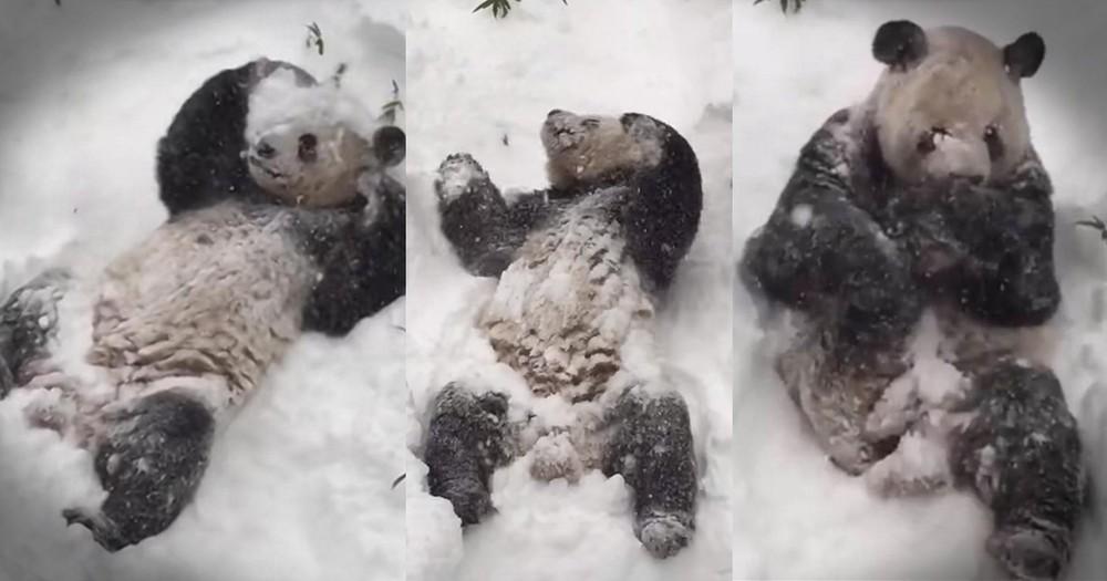 Panda's Snow Adventure Brings Smiles