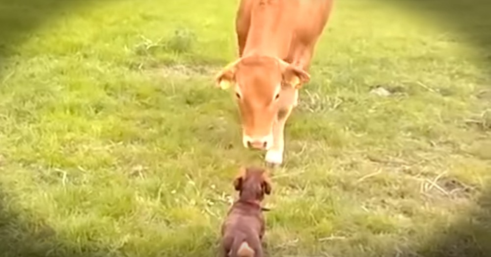 Puppy Meeting New Cow Best Friend Is Too Much Cuteness