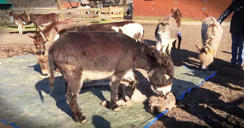 Donkeys Grieving Will Break Your Heart