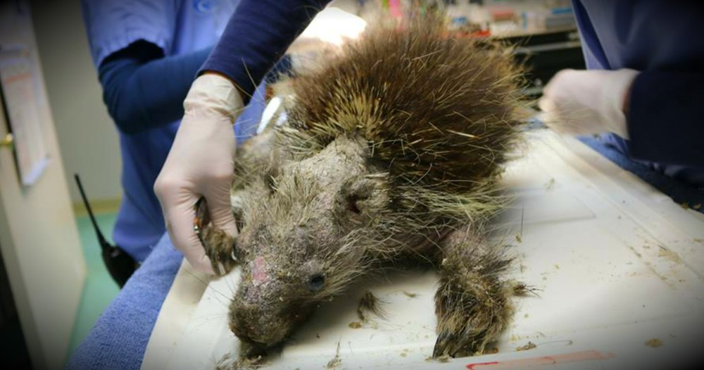 A Sick Porcupine Is Nearly Unrecognizable Before He's Rescued!