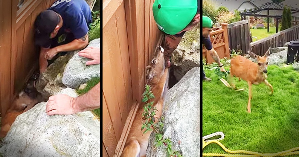 Deer Trapped Between A Rock And A Fence Gets Beautiful Rescue