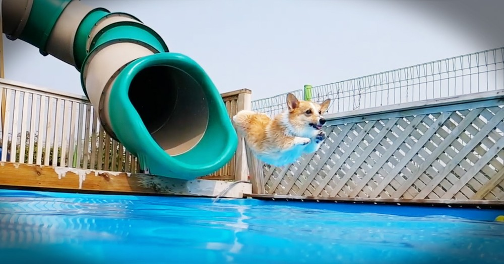 Corgi Pool Party Is My Favorite Summer Video