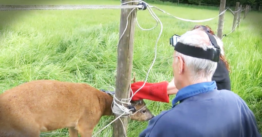 Deer Trapped In A Fence Gets A Dramatic Rescue