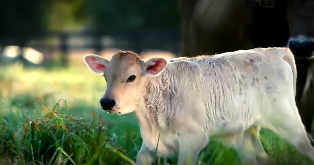 Pregnant Cow Teaches A New Farmer A Beautiful Lesson About Faith And Letting Go