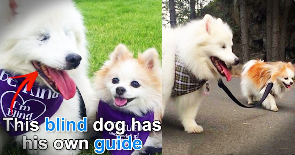 Blind Dog Has His Own Seeing Eye Dog And They Are Beyond Perfect