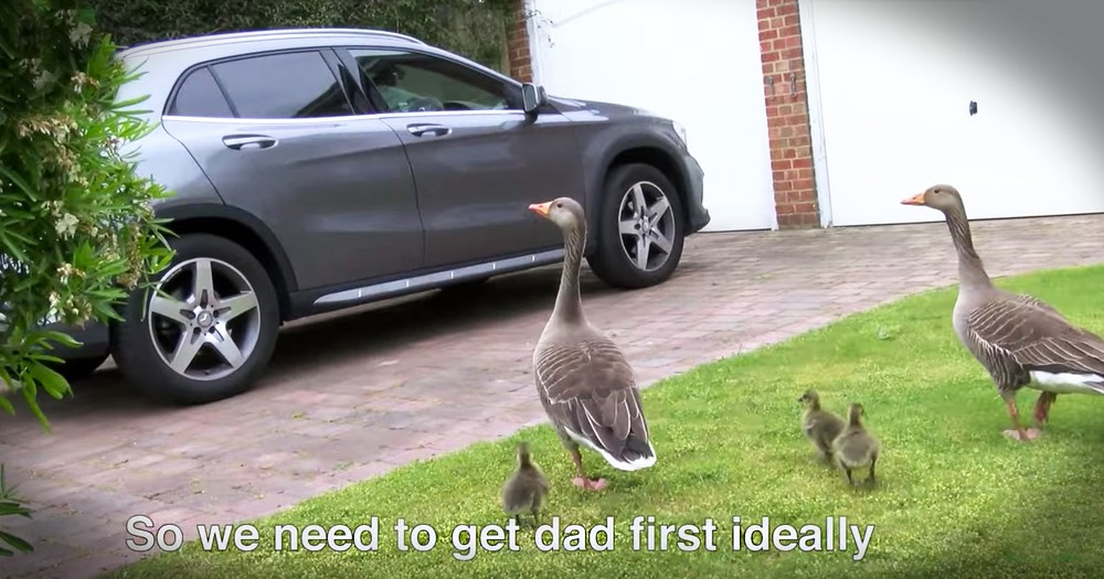 The Incredible Rescue Of A Goose Family Is Like Nothing You'll Ever See