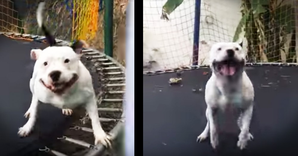 This Pit Bull On A Trampoline Is The Happiest Pup Ever And The Joy Is Contagious