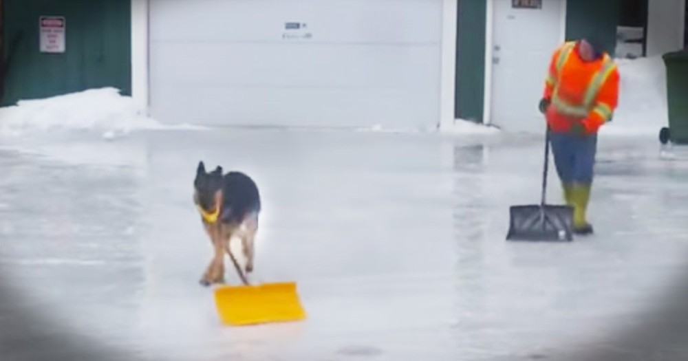 Adorable Dog Helps Human Shovel Snow From The Driveway