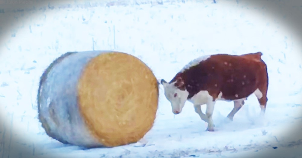 Just A Cow Living Her Best Life With A Bail Of Hay