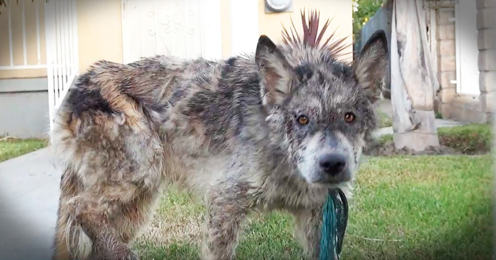 Wolf-Dog's Rescue Leads To A Beautiful Transformation