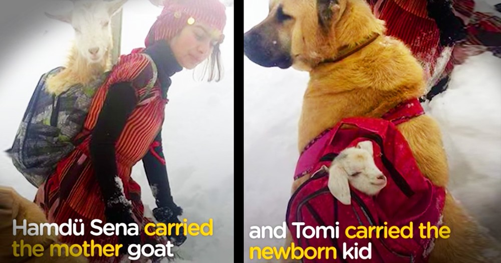 Brilliant Young Girl And Her Dog Save A Goat And Her Newborn Kid