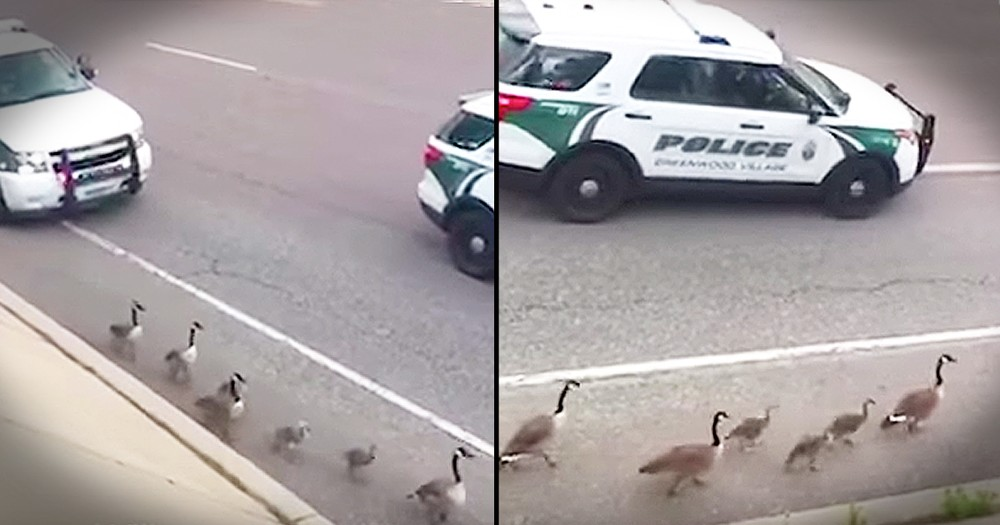 Police Escorts Family Of Geese To Safety
