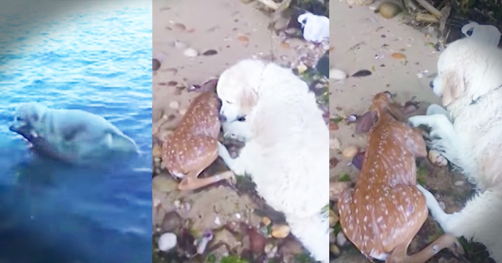 Dog Rescues Drowning Baby Deer