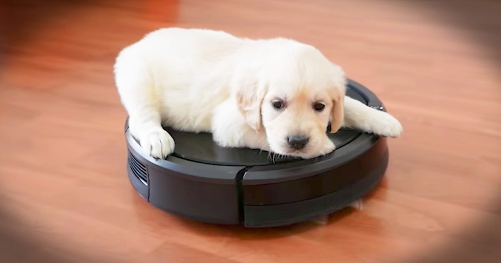 Puppy Goes For A Ride On A Roomba