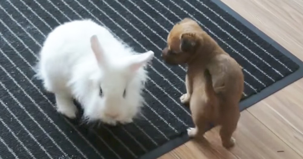 Adorable Puppy Plays Together With Pet Rabbit