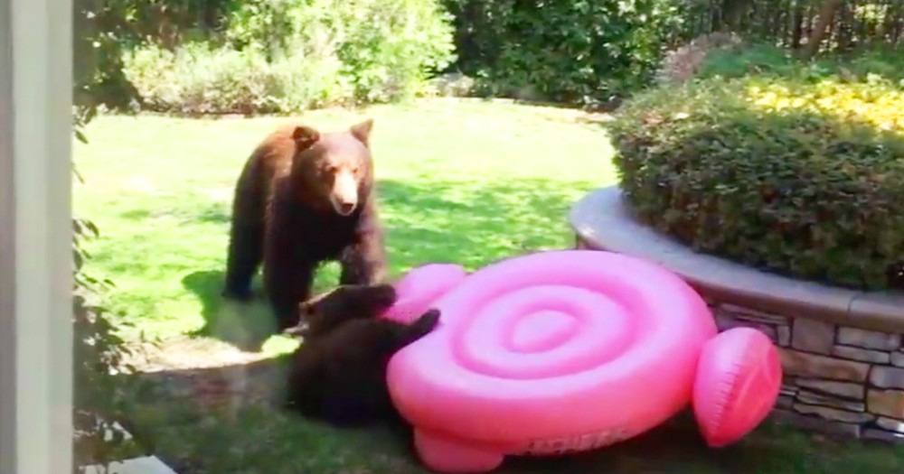 Wondering Bear Cub Wrestles Pool Toy In Family's Backyard