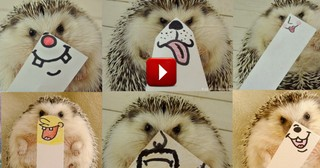 Happy Hedgehog is Hogging All the Love with His Cute Face. . .or Shall We Say Faces.