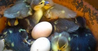 A Mother Duck Found A Random Flower Pot...and a Month Later Cuteness Exploded Inside of It