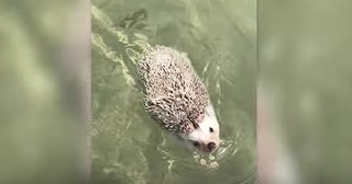Adventurous Hedgehog Goes For A Swim In The Ocean