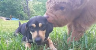 Adorable Highland Cow Thinks He's A Dog